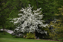 Aurora Flowering Dogwood (Cornus 'Rutban') at Snavely's Garden Corner