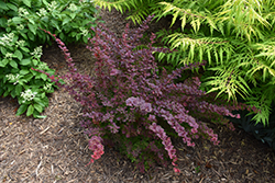 First Editions® Toscana™ Barberry (Berberis thunbergii 'BailJulia') at Snavely's Garden Corner
