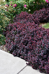 Concorde Japanese Barberry (Berberis thunbergii 'Concorde') at Snavely's Garden Corner