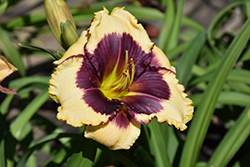 Blackthorne Daylily (Hemerocallis 'Blackthorne') at Snavely's Garden Corner