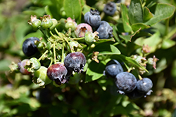 Jelly Bean® Blueberry (Vaccinium 'ZF06-179') at Snavely's Garden Corner