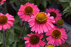 Sensation Pink Coneflower (Echinacea 'Sensation Pink') at Snavely's Garden Corner