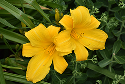 Buttered Popcorn Daylily (Hemerocallis 'Buttered Popcorn') at Snavely's Garden Corner