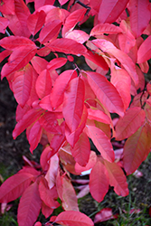 Sourwood (Oxydendron arboreum) at Snavely's Garden Corner