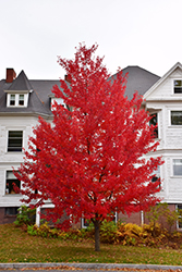 Sun Valley Red Maple (Acer rubrum 'Sun Valley') at Snavely's Garden Corner