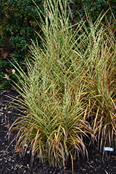 Gold Breeze Maiden Grass (Miscanthus sinensis 'Gold Breeze') at Snavely's Garden Corner