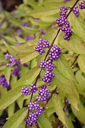 Early Amethyst Beautyberry (Callicarpa dichotoma 'Early Amethyst') at Snavely's Garden Corner