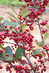 Brilliantissima Red Chokeberry (Aronia arbutifolia 'Brilliantissima') at Snavely's Garden Corner