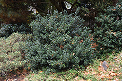 Blue Angel Meserve Holly (Ilex x meserveae 'Conang') at Snavely's Garden Corner