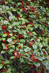 American Holly (Ilex opaca) at Snavely's Garden Corner