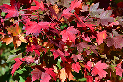 Redpointe Red Maple (Acer rubrum 'Redpointe') at Snavely's Garden Corner
