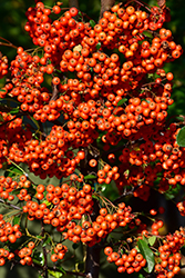 Mohave Firethorn (Pyracantha 'Mohave') at Snavely's Garden Corner