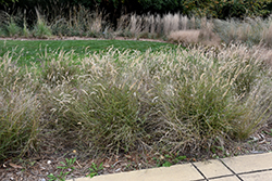 Karley Rose Oriental Fountain Grass (Pennisetum orientale 'Karley Rose') at Snavely's Garden Corner