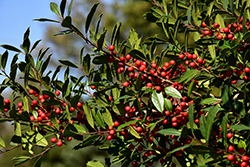 Christmas Jewel Holly (Ilex 'HL10-90') at Snavely's Garden Corner