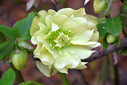 Golden Lotus Hellebore (Helleborus 'Golden Lotus') at Snavely's Garden Corner