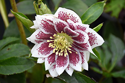 Painted Doubles Hellebore (Helleborus 'Painted Doubles') at Snavely's Garden Corner