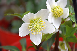 Gold Collection® Jacob Hellebore (Helleborus niger 'Jacob') at Snavely's Garden Corner