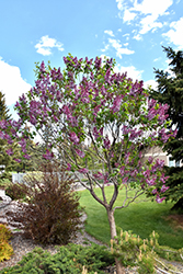 Sensation Lilac (Syringa vulgaris 'Sensation') at Snavely's Garden Corner