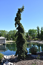 Weeping White Spruce (Picea glauca 'Pendula') at Snavely's Garden Corner
