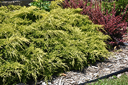 Gold Lace Juniper (Juniperus x media 'Gold Lace') at Snavely's Garden Corner