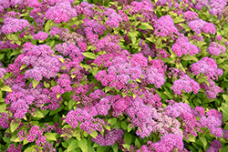 Magic Carpet Spirea (Spiraea x bumalda 'Magic Carpet') at Snavely's Garden Corner