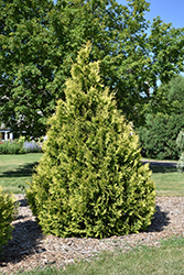 Yellow Ribbon Arborvitae (Thuja occidentalis 'Yellow Ribbon') at Snavely's Garden Corner