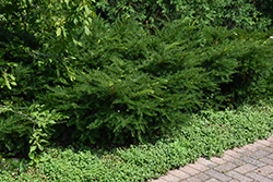 Green Wave Yew (Taxus x media 'Green Wave') at Snavely's Garden Corner