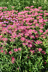 Coral Reef Beebalm (Monarda didyma 'Coral Reef') at Snavely's Garden Corner
