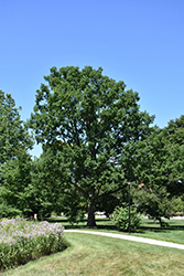 Chinkapin Oak (Quercus muehlenbergii) at Snavely's Garden Corner