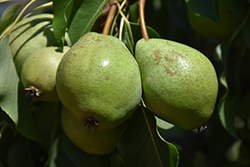 Luscious Pear (Pyrus communis 'Luscious') at Snavely's Garden Corner