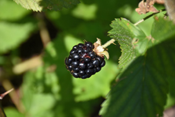 Jewel Black Raspberry (Rubus occidentalis 'Jewel') at Snavely's Garden Corner