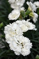 Early Bird™ Frosty Pinks (Dianthus 'Wp10 Ven06') at Snavely's Garden Corner