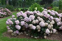 Incrediball® Blush Smooth Hydrangea (Hydrangea arborescens 'NCHA4') at Snavely's Garden Corner