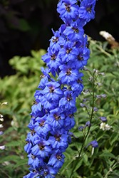 Million Dollar Blue Larkspur (Delphinium 'Million Dollar Blue') at Snavely's Garden Corner