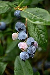 Blue Jay Blueberry (Vaccinium corymbosum 'Blue Jay') at Snavely's Garden Corner