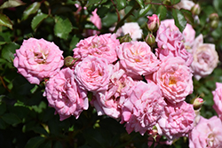 Sweet Drift® Rose (Rosa 'Meiswetdom') at Snavely's Garden Corner