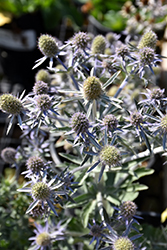 Blue Hobbit Sea Holly (Eryngium planum 'Blue Hobbit') at Snavely's Garden Corner