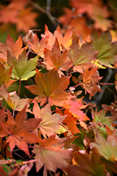 Korean Maple (Acer pseudosieboldianum) at Snavely's Garden Corner