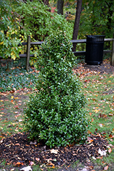 Acadiana™ Holly (Ilex 'Magiana') at Snavely's Garden Corner