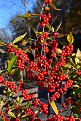 Winterberry (Ilex verticillata) at Snavely's Garden Corner