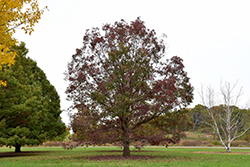 White Oak (Quercus alba) at Snavely's Garden Corner