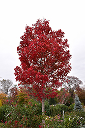 October Glory Red Maple (Acer rubrum 'October Glory') at Snavely's Garden Corner
