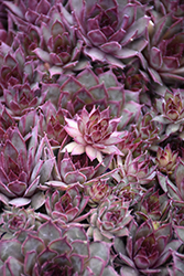 Red Beauty Hens And Chicks (Sempervivum 'Red Beauty') at Snavely's Garden Corner