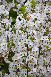Snow Goose Flowering Cherry (Prunus 'Snow Goose') at Snavely's Garden Corner