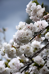Mt. Fuji Flowering Cherry (Prunus serrulata 'Shirotae') at Snavely's Garden Corner