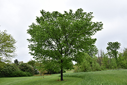 Valley Forge Elm (Ulmus americana 'Valley Forge') at Snavely's Garden Corner