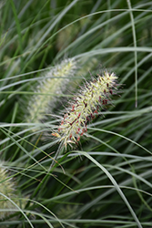 Little Bunny Dwarf Fountain Grass (Pennisetum alopecuroides 'Little Bunny') at Snavely's Garden Corner