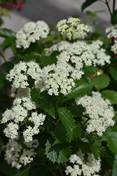 Blue Muffin® Viburnum (Viburnum dentatum 'Christom') at Snavely's Garden Corner