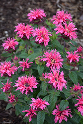 Cranberry Lace Beebalm (Monarda 'Cranberry Lace') at Snavely's Garden Corner
