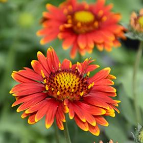 Sun-Loving Perennial Photo